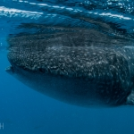 Whale shark Philippines timo dersch underwater photography diving